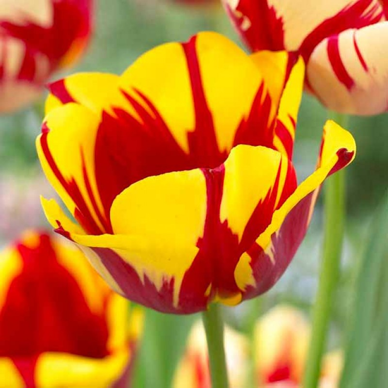 Тюльпаны Твистер
