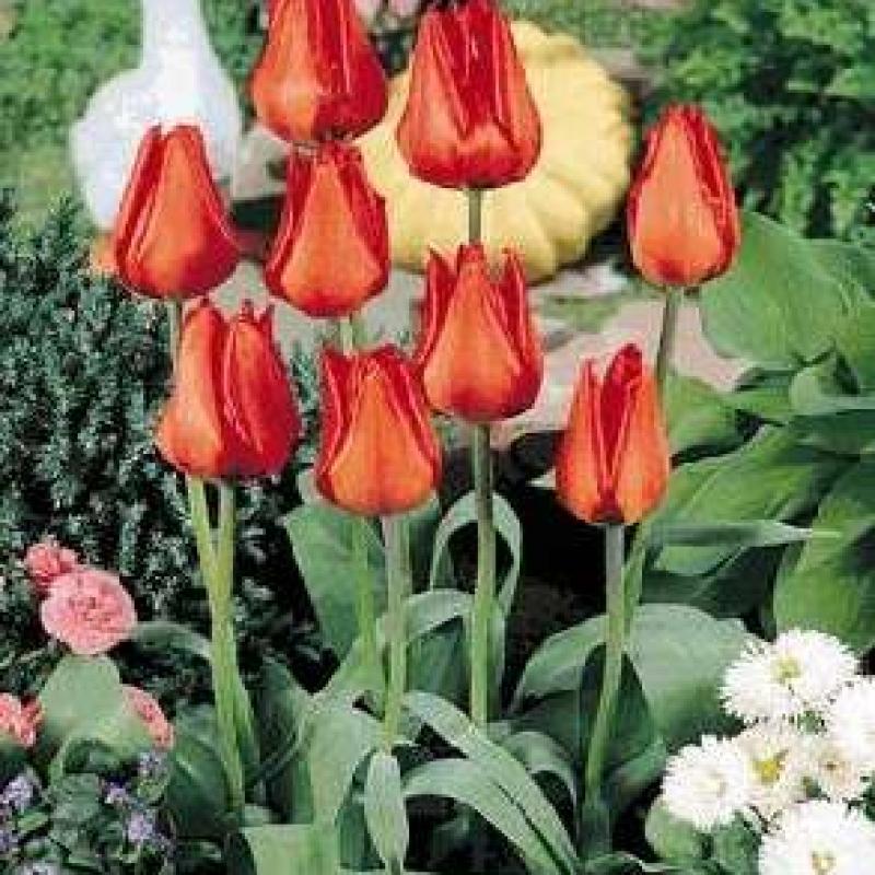 Тюльпаны Танго