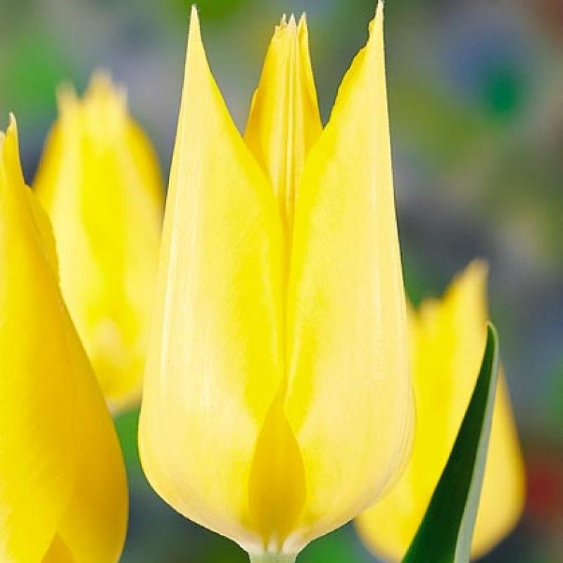 Тюльпаны Дип Ривер
