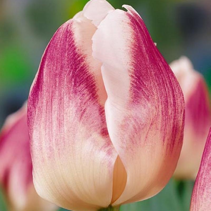 Тюльпаны Фортуна