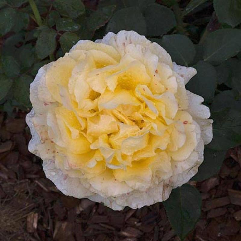 Розы Тиволи