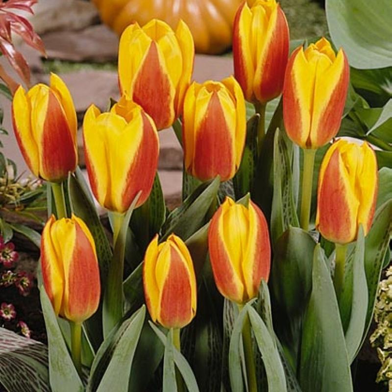 Тюльпаны Эарли Стар