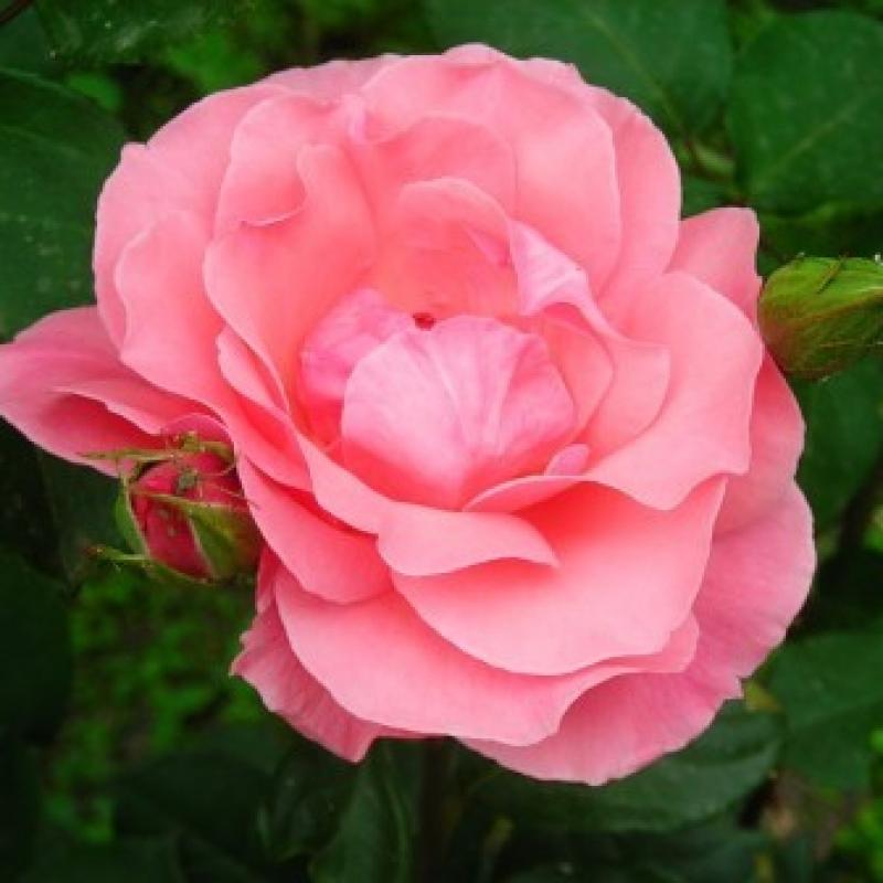 Розы Астрид Линдгрен