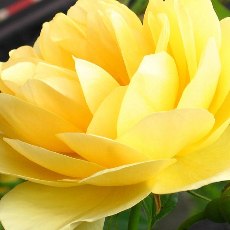 Розы Дорола