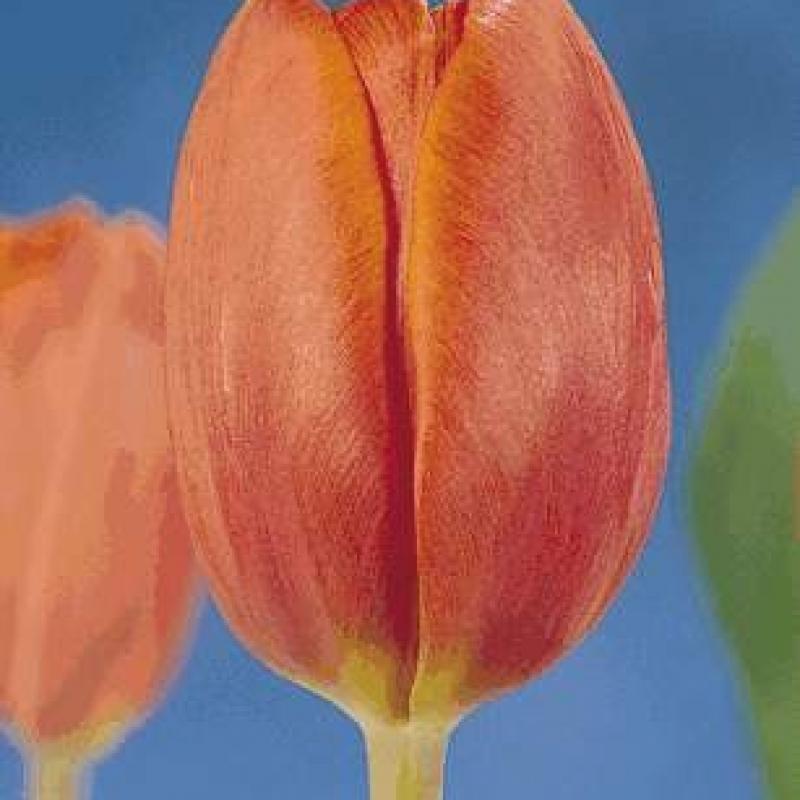 Тюльпаны Кингз Оранж