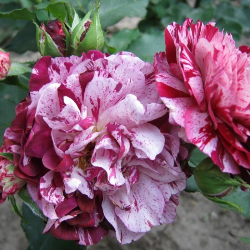 Розы Нью Имейджн