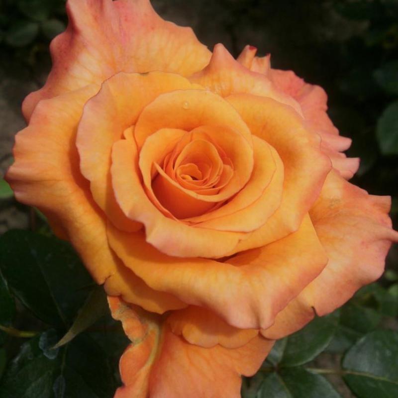 Розы Виночар