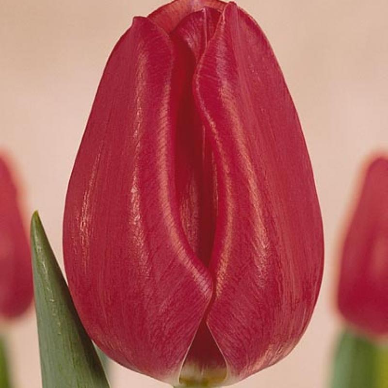Тюльпаны Топскоре