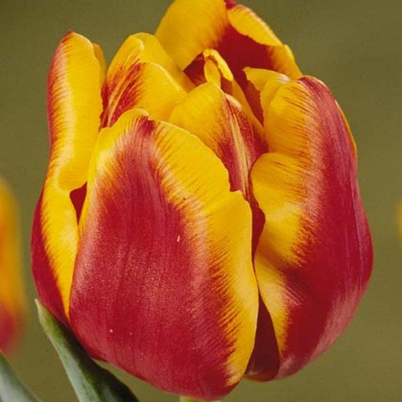 Тюльпаны Вест Фризия