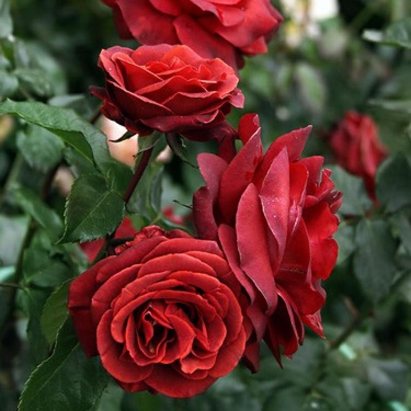 Розы Терракота