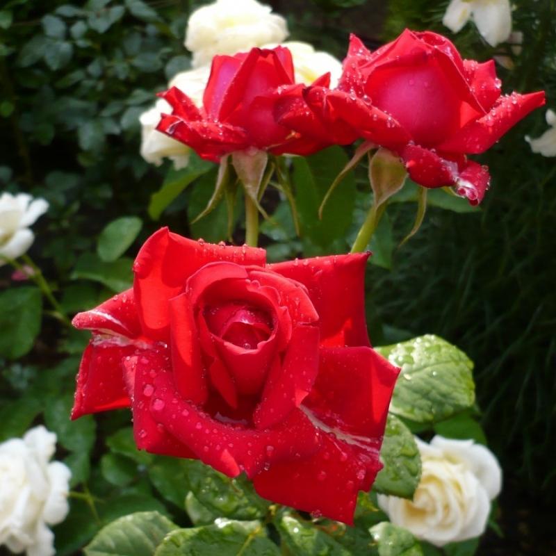 Розы Бургунд