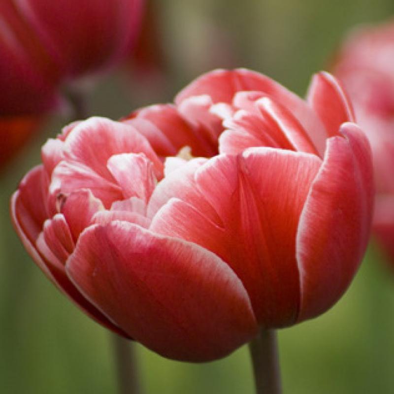 Тюльпаны Драмлайн