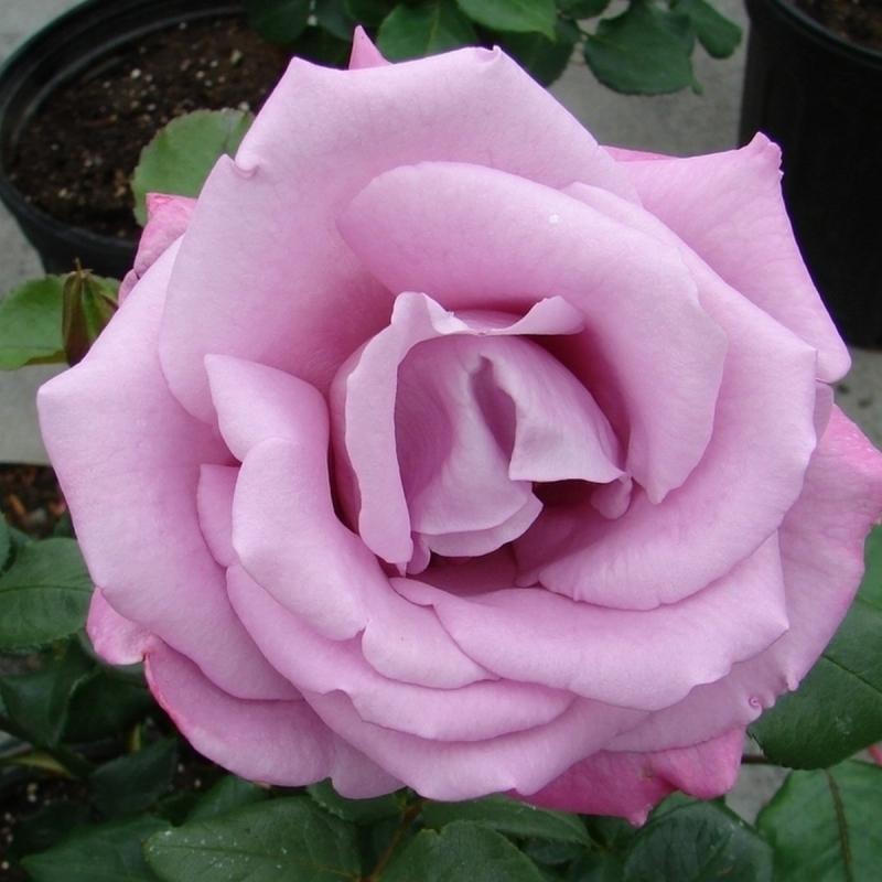 Розы Мун Шэдоу