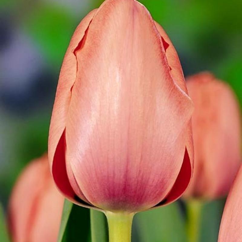 Тюльпаны Салмон Импрешн