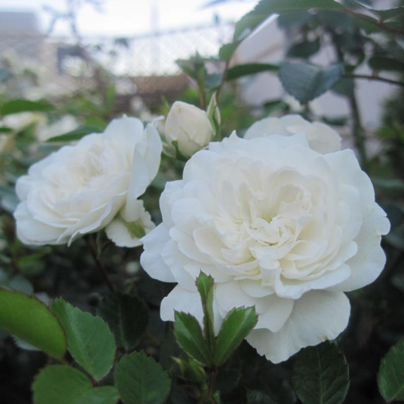 Розы Свани