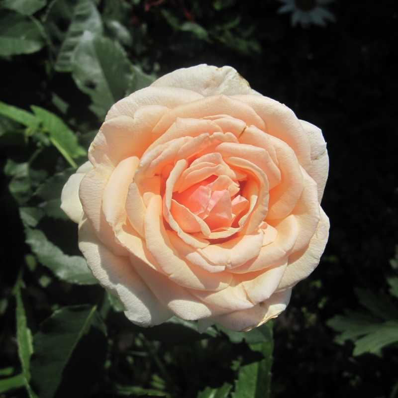 Розы Шарифа Асма