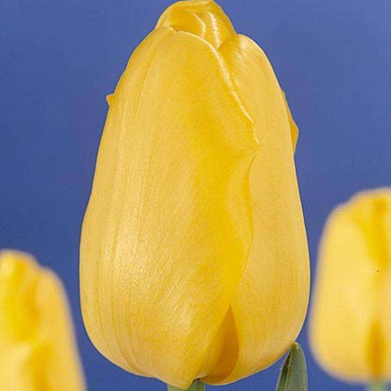 Тюльпаны Голд Сити