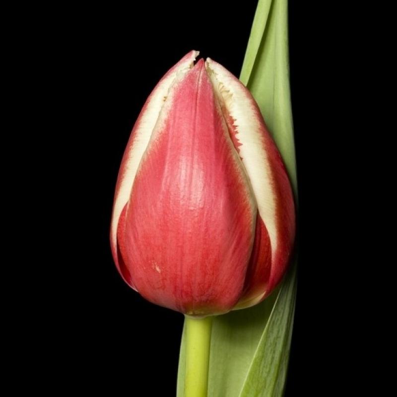 Тюльпаны Хорн