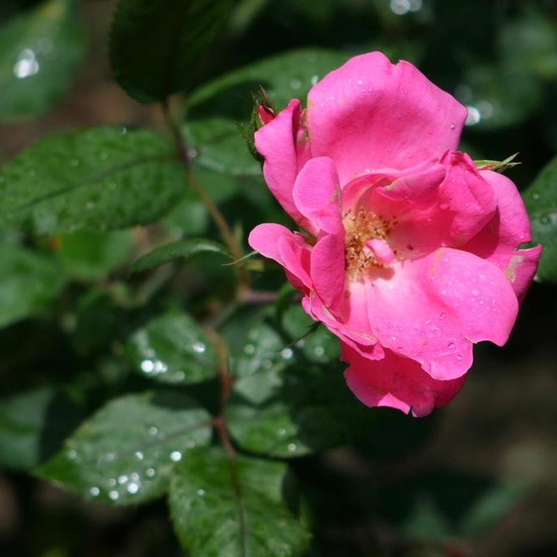 Розы Родин