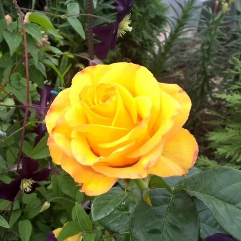 Róże Sphinx