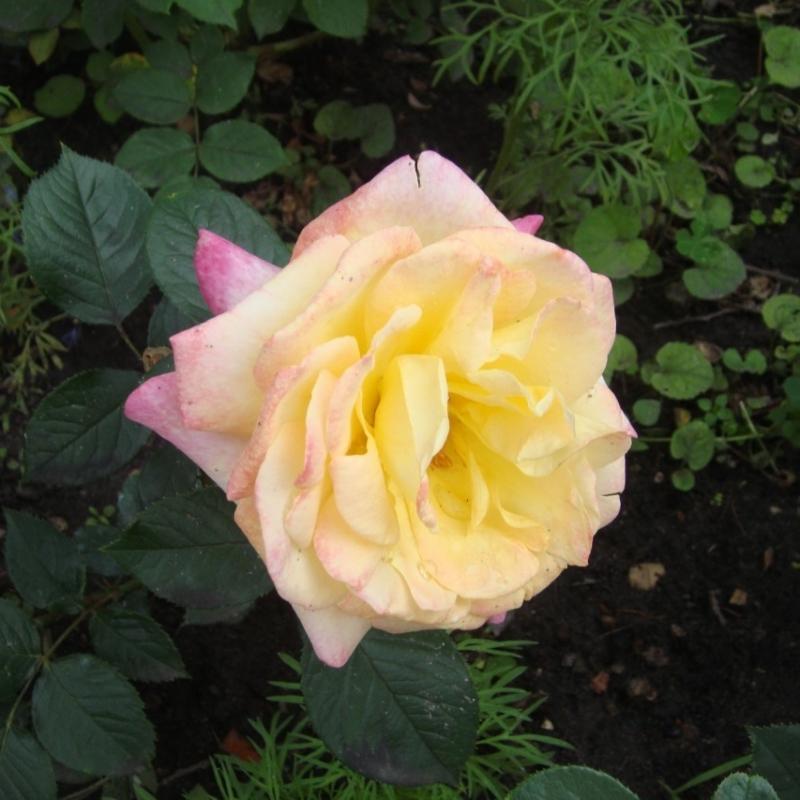 Розы Вэриэти Клаб