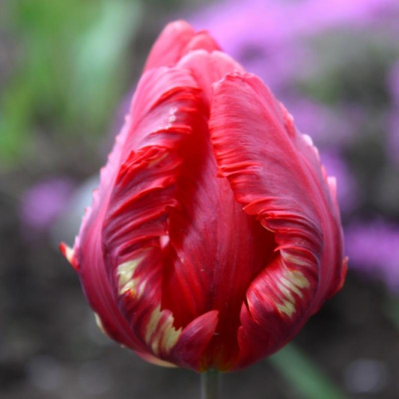 Тюльпаны Рококо