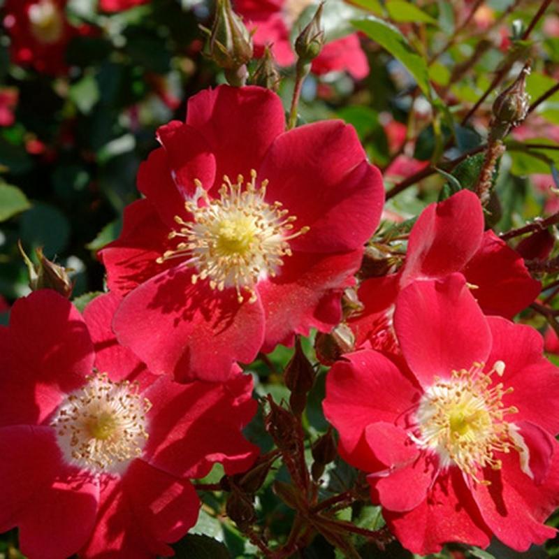 Розы Кандиа Меилландекор