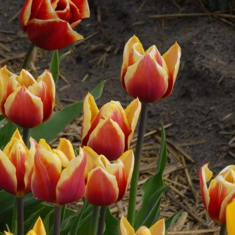 Тюльпаны Голден Мироран