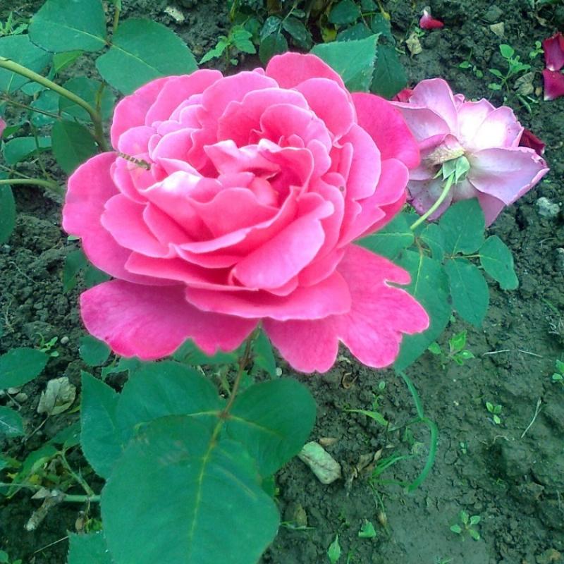Розы Пинк Пис