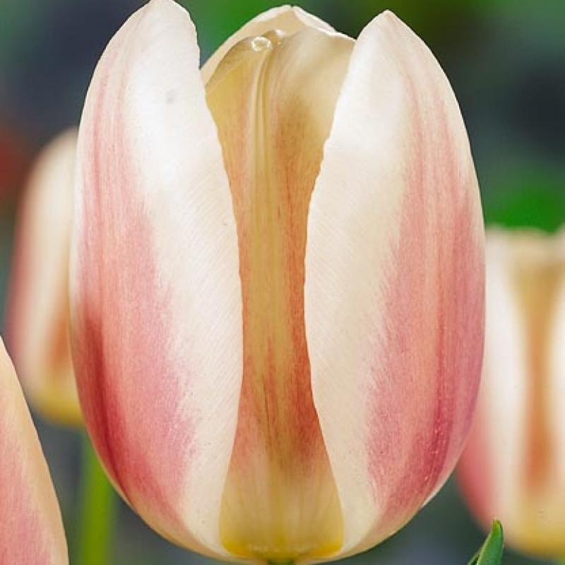 Тюльпаны Бью Монде