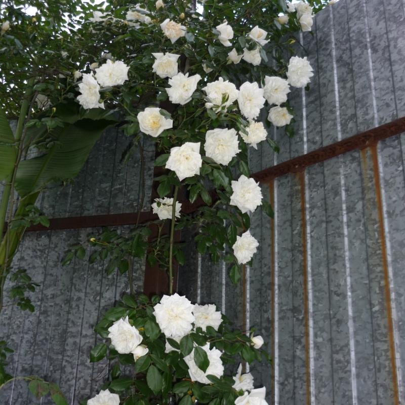 Roses Alaska