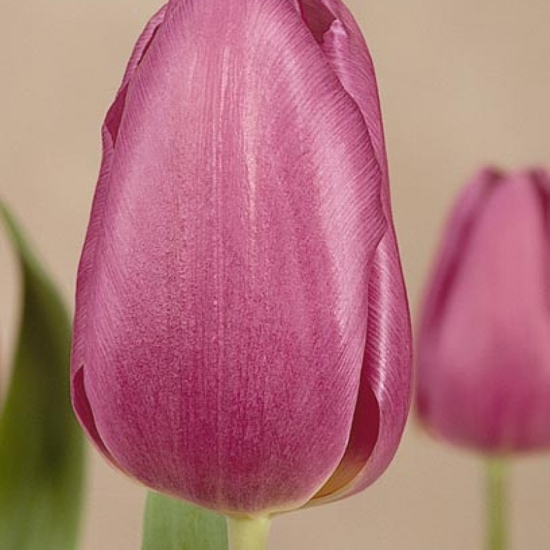 Тюльпаны Беби Блю