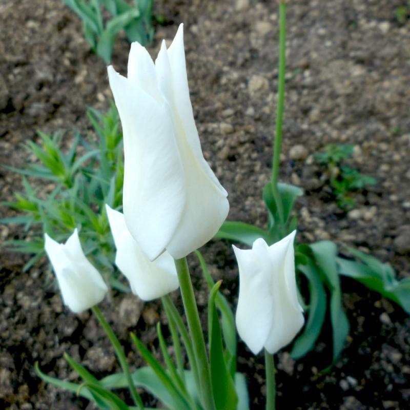 Тюльпаны Уайт Элеганс