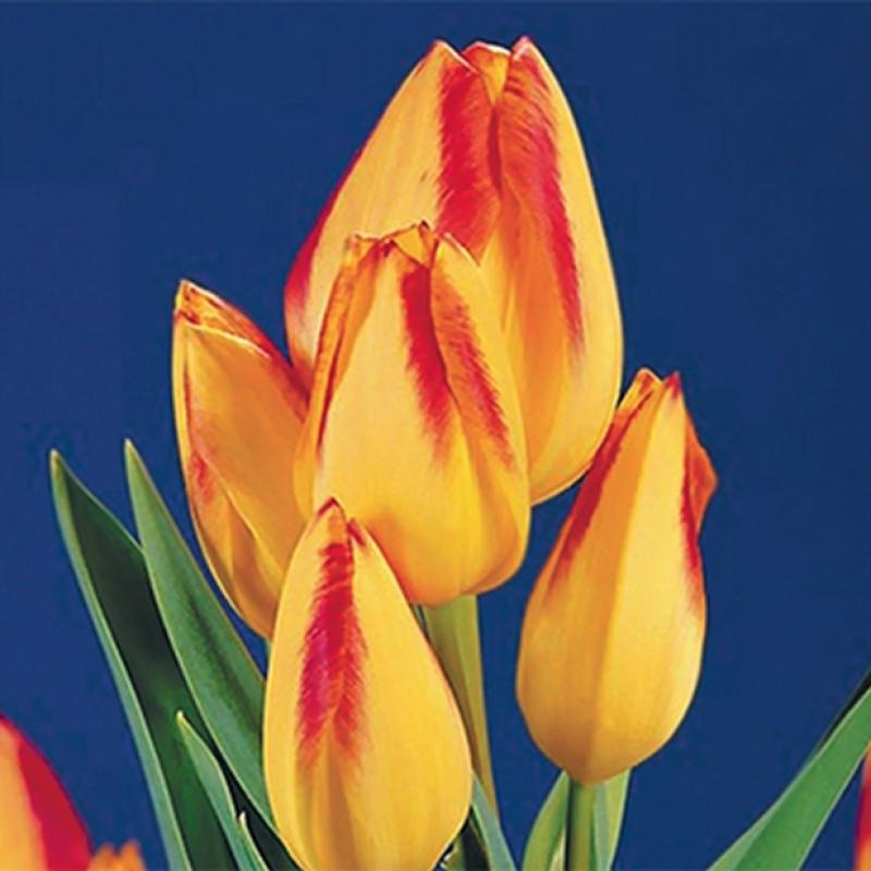 Тюльпаны Флоретте