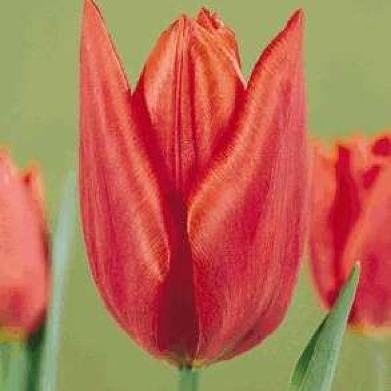 Тюльпаны Саванна