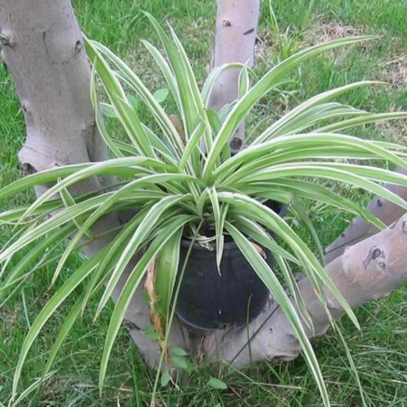 Комнатные растения Хлорофитум