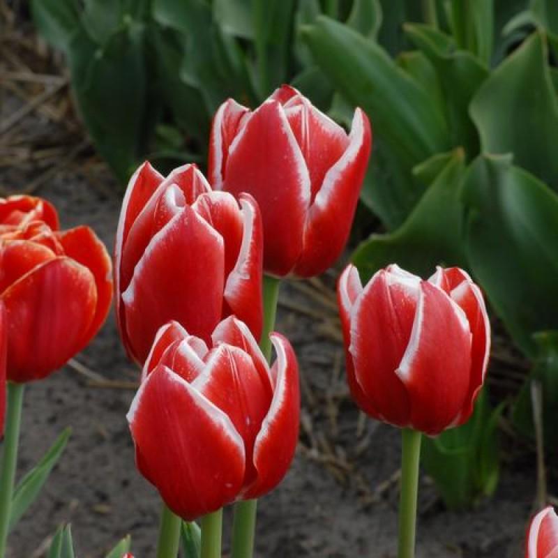 Тюльпаны Грандесса