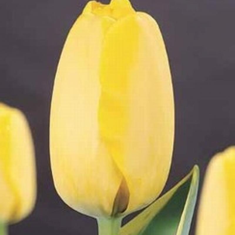 Тюльпаны Гарант