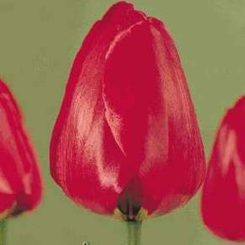 Тюльпаны Кам Бэк