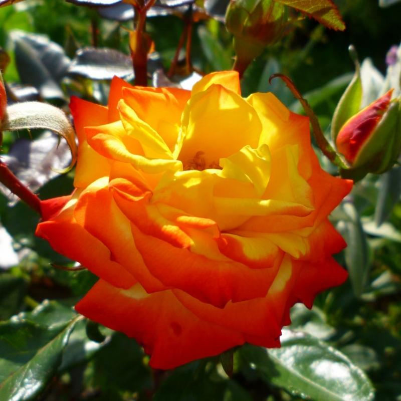 Розы Самба