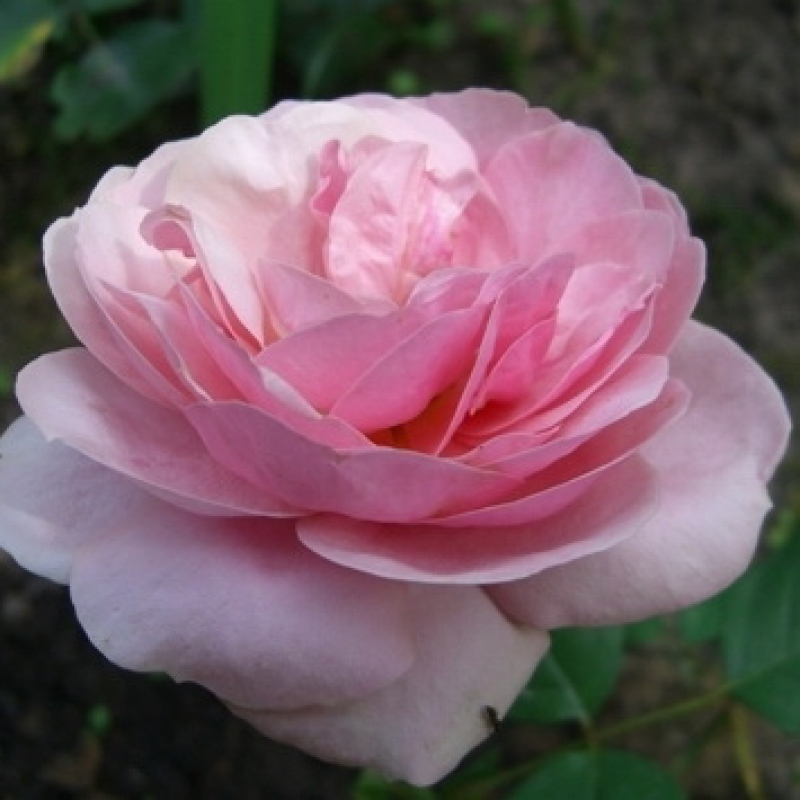 Розы Стефани