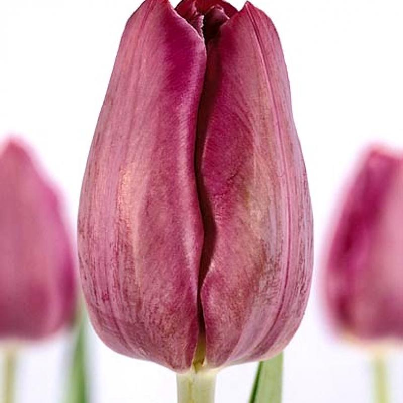 Тюльпаны Кум Лауде