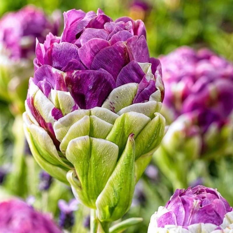 Тюльпаны Эксквисит
