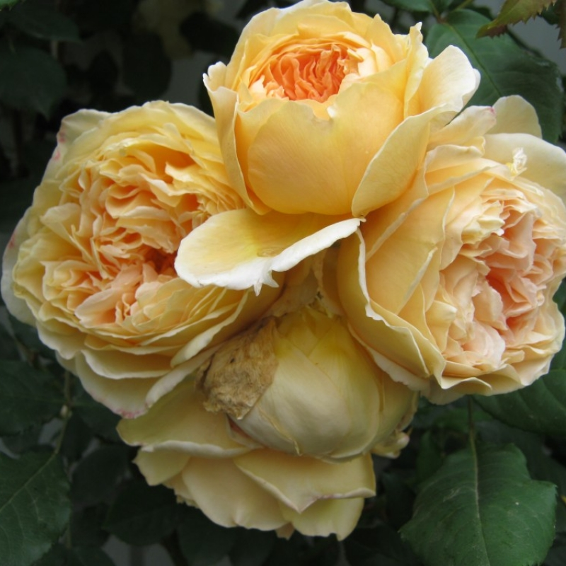 Розы Краун Принцесс Маргарета