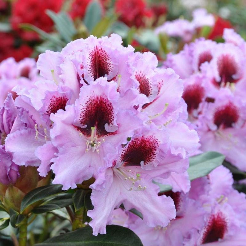 rhododendron kabare katalog sorten samen rhododendron kabare pflege vermehren und. Black Bedroom Furniture Sets. Home Design Ideas