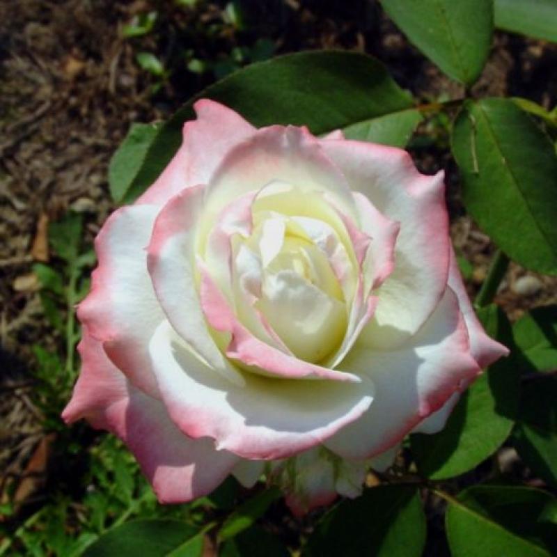 Розы Королева Амазонка