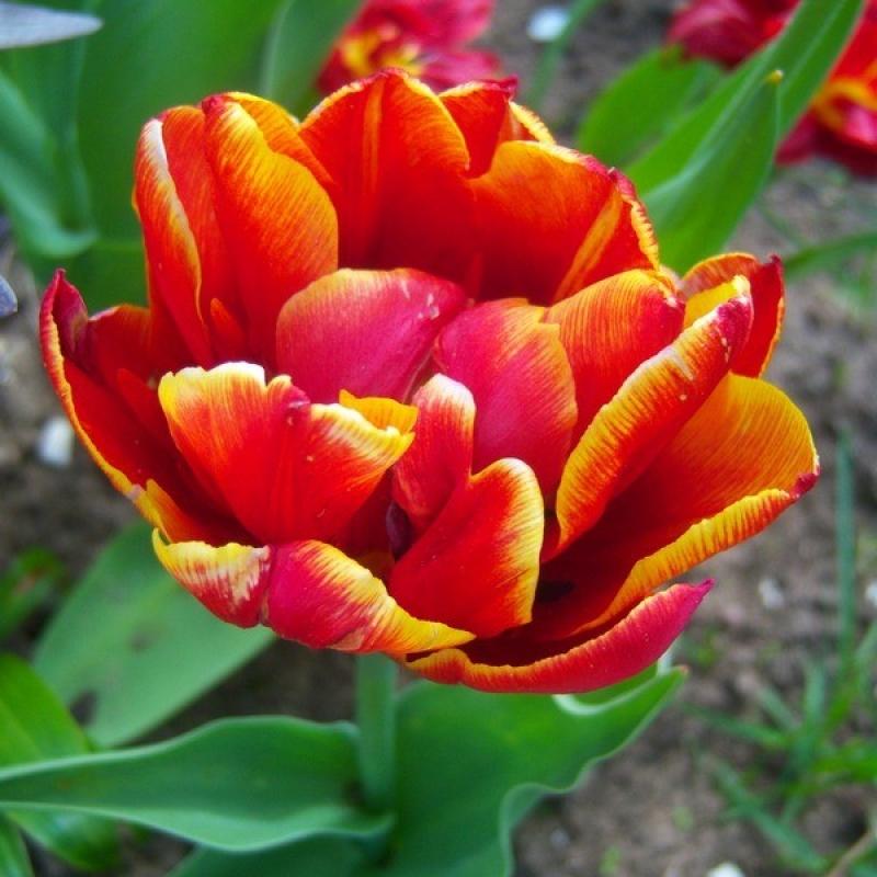 Тюльпаны Алегретто