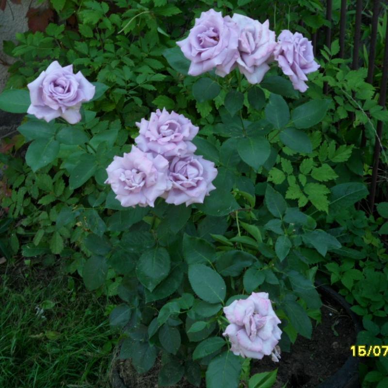 Розы Азубис