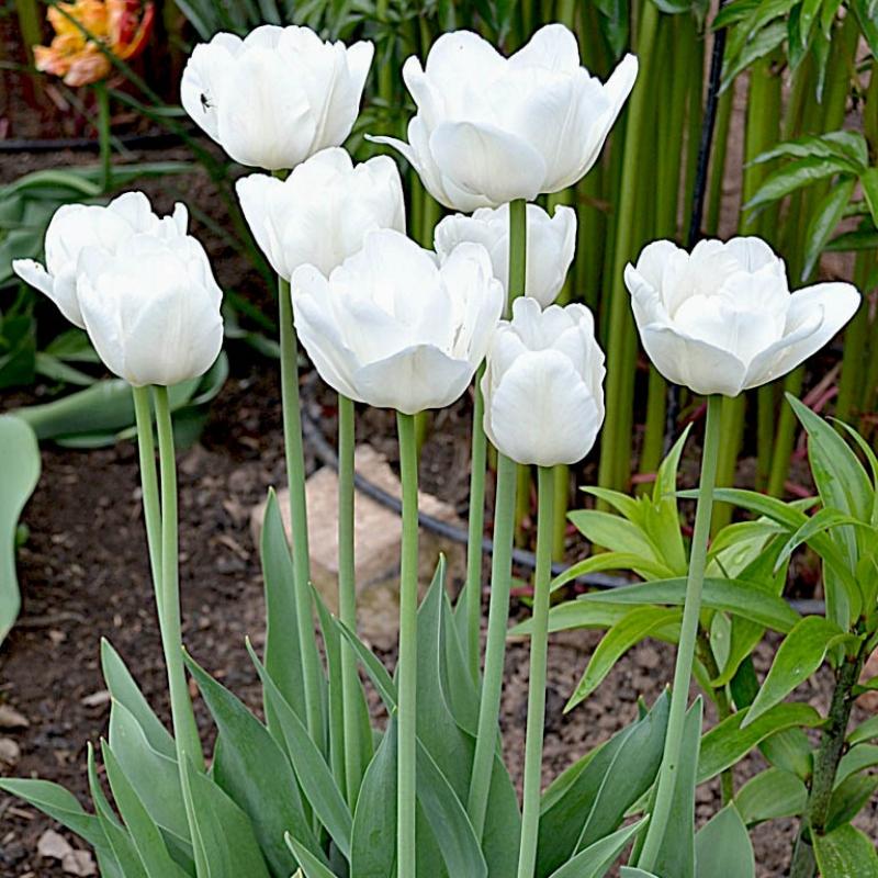 Тюльпаны Уайт Тач