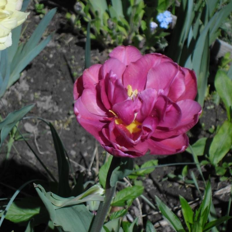 Тюльпаны Маргарита